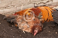 Japanse kippen nemen een zandbad