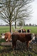 Hereford runderen