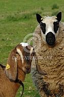 Kerry Hill met geit