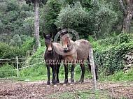 Muilezels in Italië