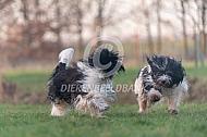 Spelende Nederlandse schapendoezen