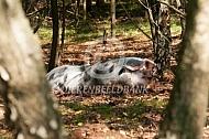 Bonte Bentheimer in het bos