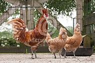 Brabanter (geelwit getoept)