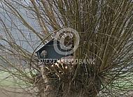 Steenuilenkast (Athene noctua)