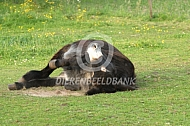 Rollende Poitou ezel