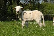 Lam Wiltshire Horn