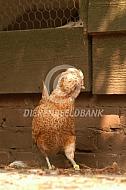 Baardkuifhoen kriel