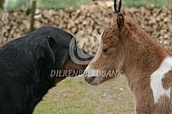 Veulen american miniature horse met hond