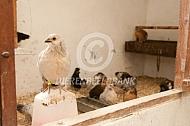 Belgische krielen in kippenhok