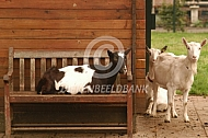 Bonte en witte melkgeit