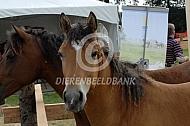 Veulen Curly horse