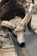 Jacob schapen ram eet brok