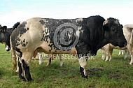 Belgische witblauwe