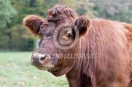 Dexters koe