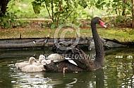 Zwarte zwaan met jongen
