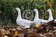 Witte boerengans in de herfst