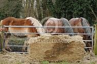 Trekpaarden eten kuilvoer