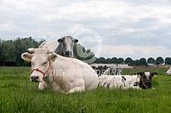 Belgische witblaue ligt te hetkauwen