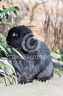 Kunder Hangoor konijn