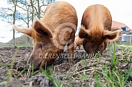 Wroetende Tamworth varkens