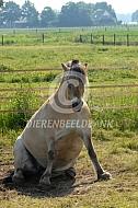 Fjorden paard