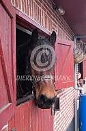 Trekpaard op stal