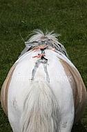Pony met geboortemelder