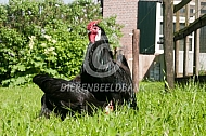 Hollands hoen haan (zwart)