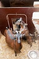 Dwerggeiten op stal
