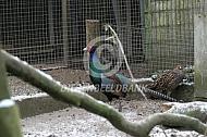 Noordelijke Diversicolor fazant