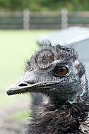 Kop van een emoe