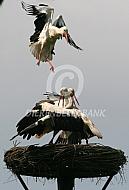 Ooievaar (Ciconia ciconia)