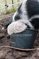 Bente Bentheimer eet uit emmer