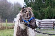 Miniatuur curly horse